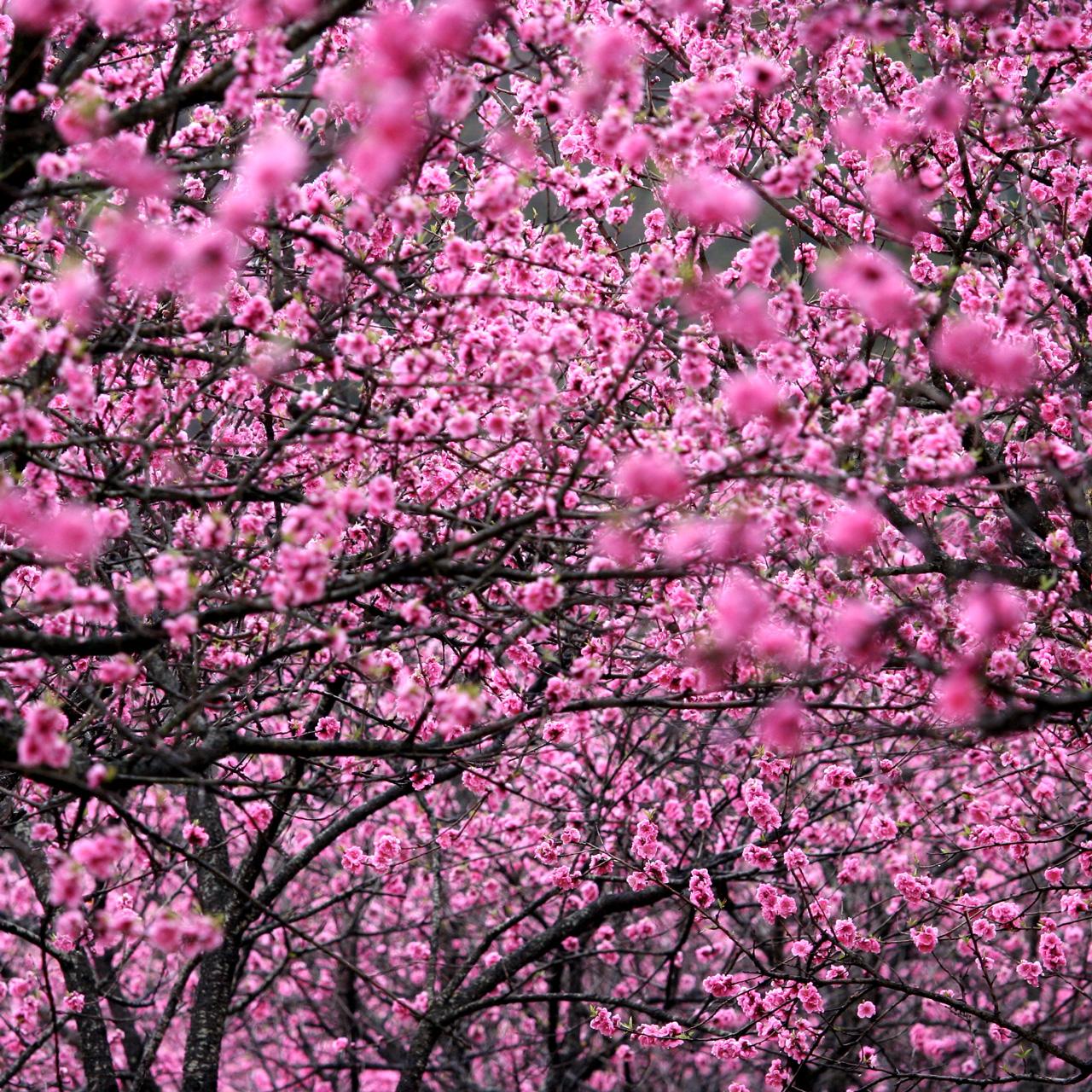 桃の花(古河公方公園)